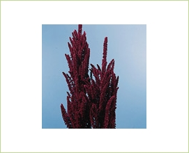 amaranthus_upright