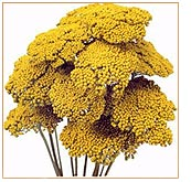 yarrow-flower